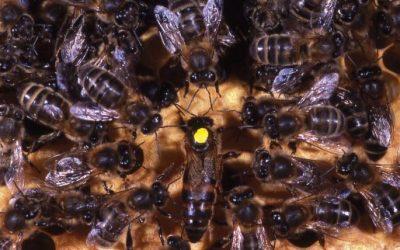 L'abeille noire, l'abeille Cro-Magnon